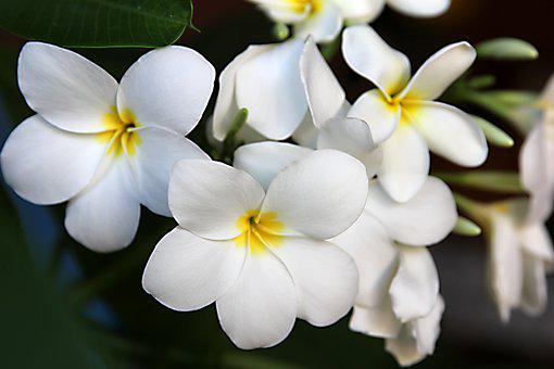 Plumeria, Indian Jasmine, Plant, Tree, Foliage Plant