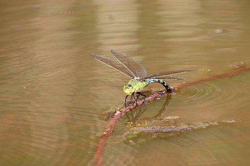 Parthenope, Dragonfly, Egg Laying, Insect, Close Up