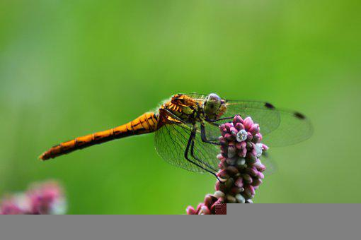 Swamp - Heath Dragonfly, Dragonfly, Insect, Nature