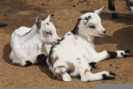 Goats, Young Animal, Kid, Animal World, Cute, Quadruped