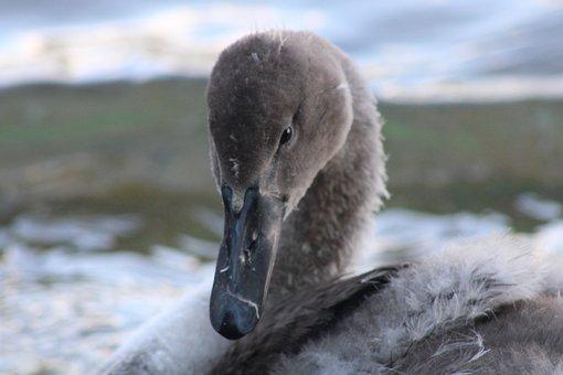 Sign, Young, Beak, Lake, Feathers, Nature, Animal