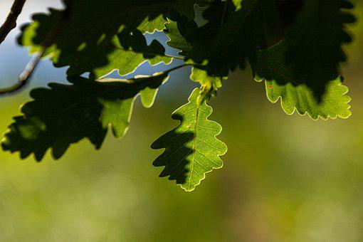 Oak, Leaf, Shadow, Green, Close Up, Light, Plant