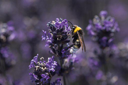 Bee, Purple, Lilac, Flower, Flight, Insect, Nature
