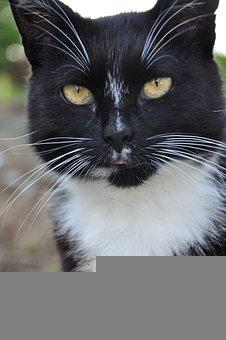 Cat, Predator, Animals, Majestic, Black, Mustache