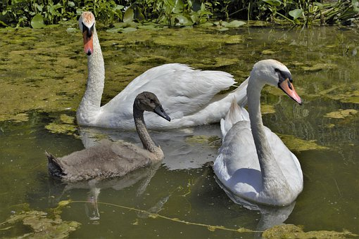 Swans, Swan Family, Female Swan, Cob, Male Swan, Pen
