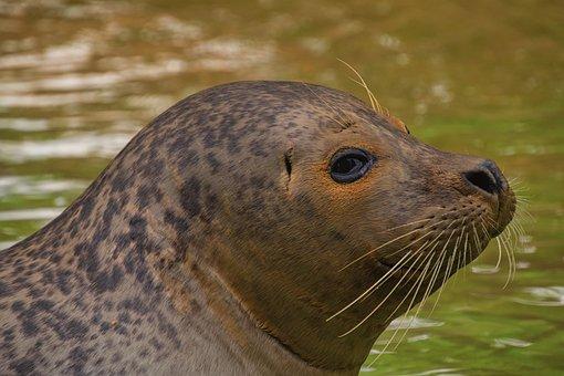 Seerobbe, Zoo, Robbe, Seal, Meeresbewohner