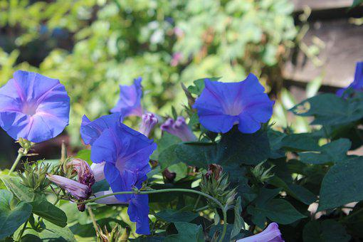 Flowers, Morning Glory, Purple, Blossom, Bloom