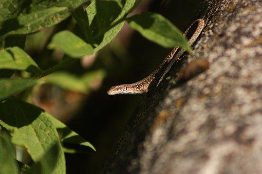 Wildlife, Lizard, Iguana, Nature, Animal, Gecko