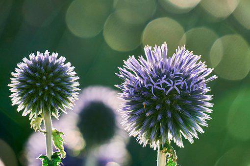 Thistle, Blossom, Bloom, Close Up, Spur, Purple, Nature