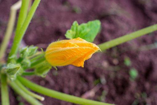 Blossom, Flower, Garden, Squash, Yellow, Nature, Summer