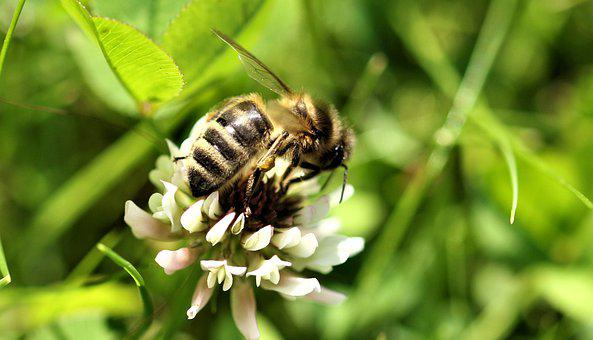 Bee, Insect, Plant, Summer, Nectar, Garden, Botany
