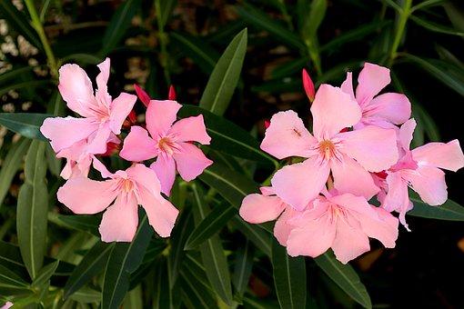 Oleander, Flowering Shrubs, Color Pink, Plants