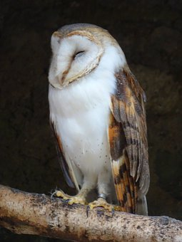 Barn Owl, Sleep, Ringed, Owl, Bird Of Prey, Bird