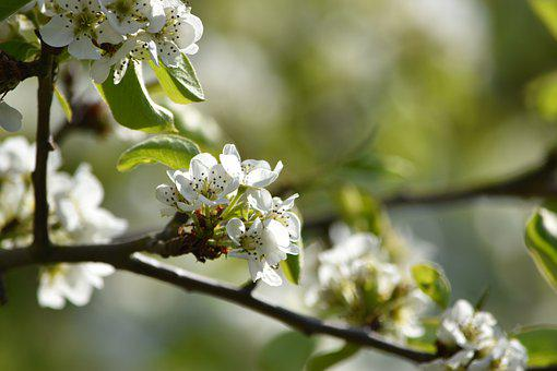 Pear Blossom, Spring, Summer, Pear