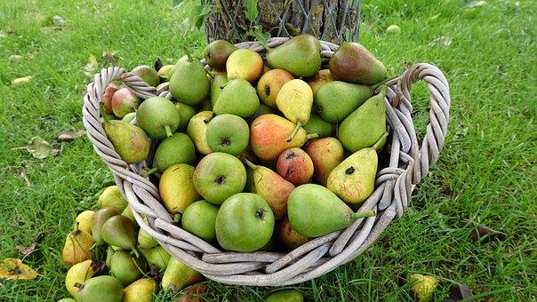 Harvest, Pears, Fruit, Green, Perenoogst