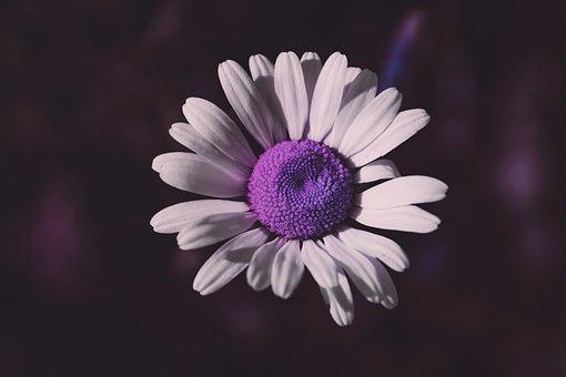Flower, Daisy, Nature, Garden, Spring, Daisies, Petals