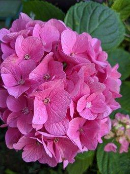 Hydrangea, Pink, Flower, Flowering, Garden, Petals