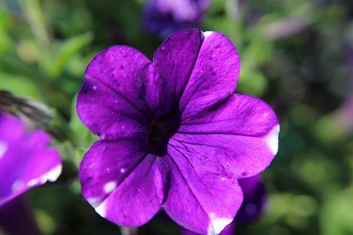 Petunia, Purple, Flower, Plant, Garden, Nature
