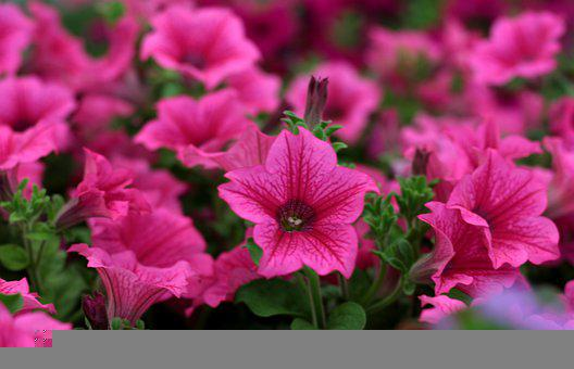 Petunia, Rose-Red, Bedding Plants