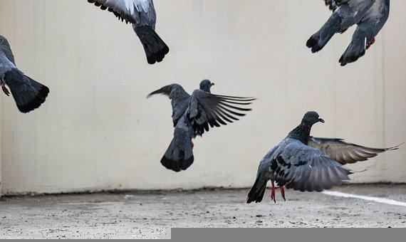 Flying, Pigeons, Dove, Peace, Wings, Freedom, Feathers
