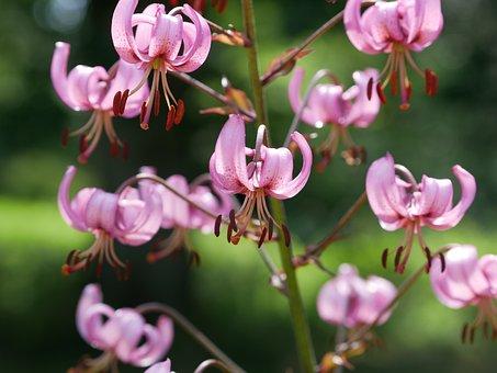 Turk's Cap Lily, Pink, Martagon Lily, Lilium