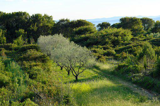 Olive Trees, Croatia, Nature, Tree, Vacations, Plant