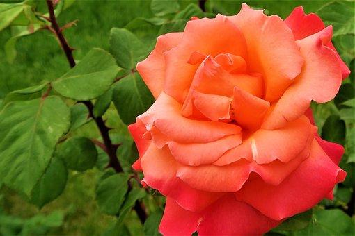 Rose, Nature, Plant, Red, Flower, Love, Romantic