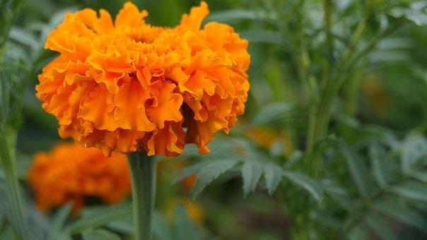Marigolds, Cap, Flower, Lacewing, Orange, Plants