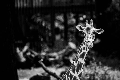 Giraffe, Africa, Wilderness, Poaching, Safari, Nature