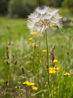 Dandelion, Nature, Plant, Pointed Flower, Wild Flower
