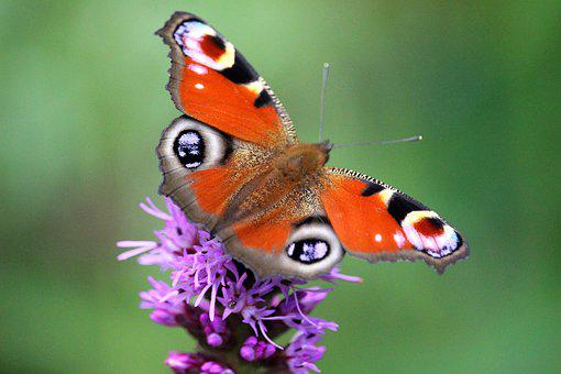 Peacock Butterfly, Butterfly, Blossom, Bloom, Purple