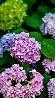 Hydrangea Flowers Nature Violet, Purple