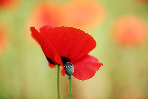 Red Flowers And Fruits, Plant, Ornamental Poppy