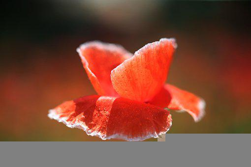 Red Flowers, Raindrop, Colorful Petals