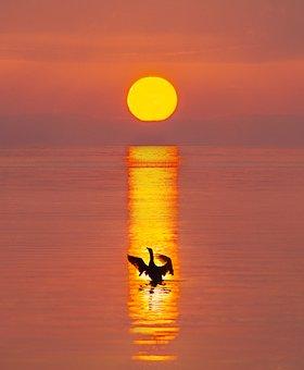 Bird, Swan, Sunrise, Dawn, River, Water, Reflection