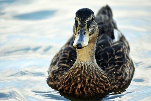 Duck, Standing, Water, Danube, River, Swimming, Fauna