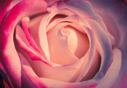 Rose, Rose Bloom, Petal, Bloom, Flower, Romantic, Pink