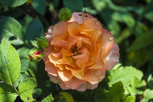 Rose, Beautiful, Love, Nature, Summer, Valentine