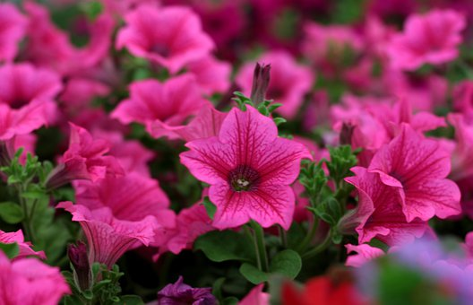 Petunia, Rose-red, Bedding Plants, Garden, Flowers