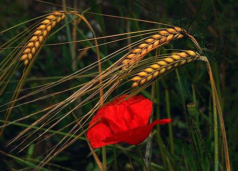 Rye, Poppy Flower, Klatschmohn, Cornfield, Arable