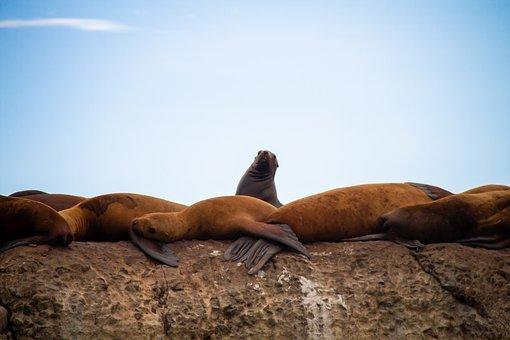 Northern Sea Lion, Steller Sea Lion, Eared Seal, Seal