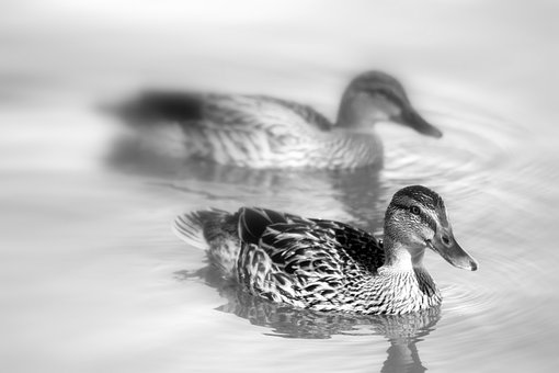Duck, Ducks, Animals, Sharp, Blurred, Background