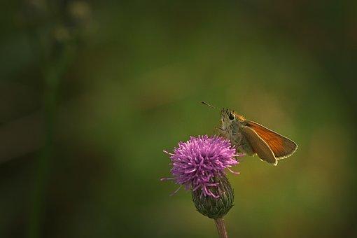 Butterfly, Blossom, Bloom, Skipper
