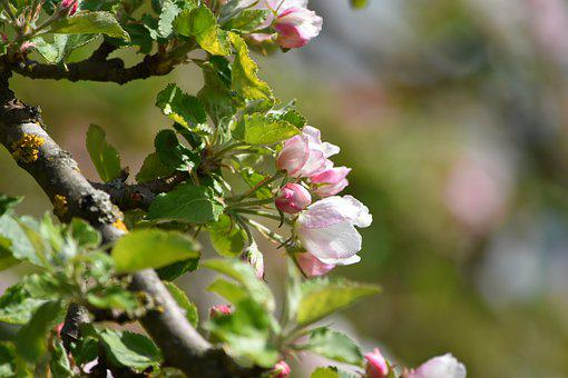 Apple Blossom, Spring, Summer, Apple Tree, Bloom