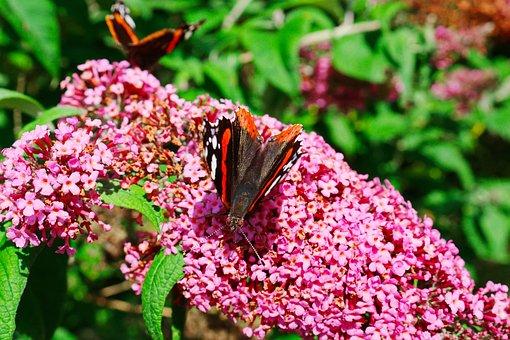 Butterfly, Blossom, Bloom, Summer
