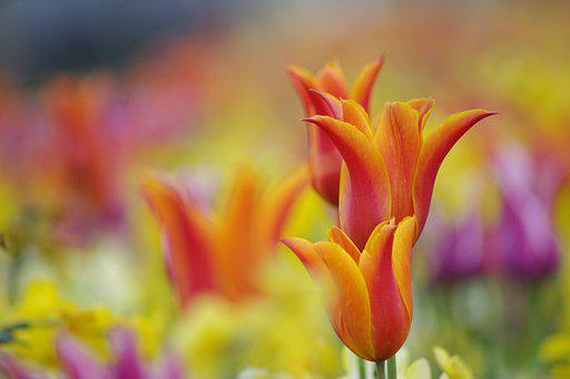 Flower, Tulip, Spring, Garden, Plants, Summer, Colorful