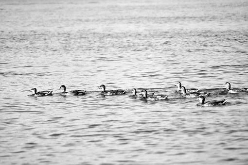 Ducks, Water, Swimming, Family, Animal, Teal