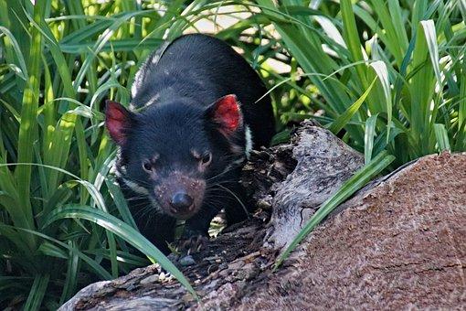 The Devil Ursine, Devil, Tasmanian, Animal, Marsupial