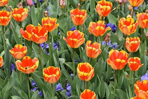Tulips, Thanksgiving Point, Utah