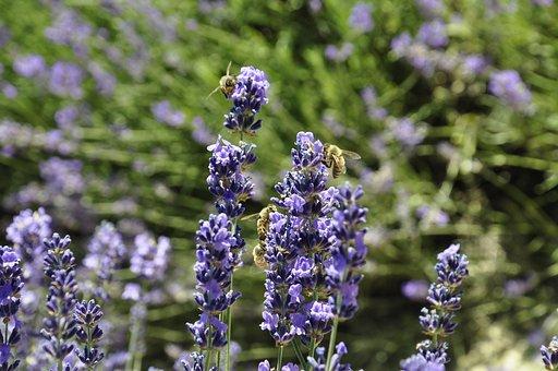 Lavender, Summer, Flowers, Nature, Garden, Violet